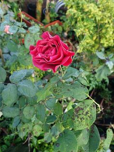 Rose Gardening What's Wrong With My Rose Bush? Troubleshooting Common Rose Problems - Use this handy guide to learn how to prevent, identify and treat common rose problems, including diseases and pests, before they take hold of your garden. Rose Bush Care, Rose Care, Comment Planter Des Roses, Black Spot On Roses, Red Roses, Rose Diseases, Rose Plant Care, Pruning Roses, Gardens