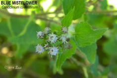 BLUE MISTFLOWER (Conoclinium coelestinum) | What Florida Native Plant Is Blooming Today?™ 0914