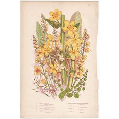 Anne Pratt antique 1860 botanical print, Pl 157 Mullein, Flowering Plants