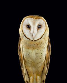 Das Federkleid von Schleiereulen erinnert am Kopf an eine Brille. Daher galten die Brutvögel lange als Symbole der Weisheit.