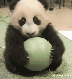 Panda with his ball cute animals adorable animal gif panda aww funny animals animal gifs gis Photo Panda, Animals And Pets, Baby Animals, Baby Pandas, Nature Animals, Wild Animals, Animal Pictures, Cute Pictures, Panda Lindo
