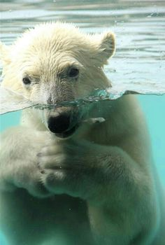 Underwater Polar Bear!