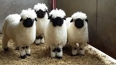 Valais Blacknose Sheep, Scotland, UK.