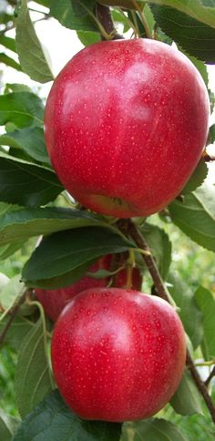 Fresh Apple / Gala Must Apple - Buy Fresh Apples/ Gala Apple Product on…