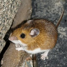 Mice are nocturnal and that is why people hear the scratching noises in their attics at night. #animalremoval #Dallas
