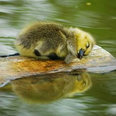 Sleeping baby duck on a floating log
