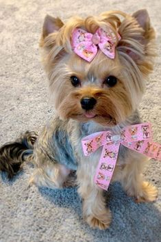 Elegant gorgeous and remarkable adorable YorkshireTerrier - Gloria Love Pets - Welcome to our website, We hope you are satisfied with the content we offer. Yorkie Puppy For Sale, Yorkie Dogs, Terrier Puppies, Cute Dogs And Puppies, Baby Dogs, Pet Dogs, Yorkies, Yorkshire Terrier Dog, Yorky Terrier
