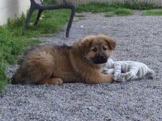 German Shepherd/Collie
