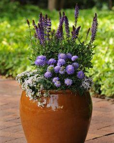 Perennial Container Garden. Salvia, Scabiosa, and phlox?