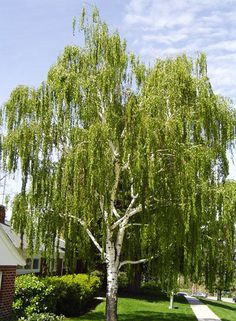 Betula pendula 'Dalecarlica'. Cutleaf Weeping Birch. Zone 2. 40'-50' high, 30'-40' wide.