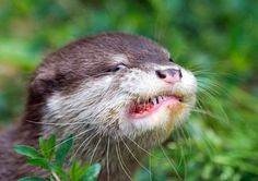 One of three young oriental small-clawed otters eats a meatball on June 18 in a zoo in Dresden.