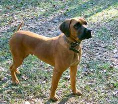 Black Mouth Cur on Pinterest | Photo Black, Dog Breed Info and Mouths