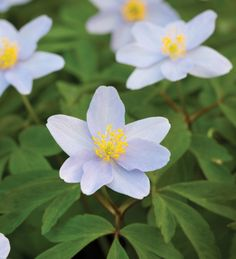 Plant a few of these in your garden - different colours and varieties - they'll grow happily anywhere, increasing gradually from year to year. Anemone nemorosa""