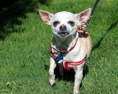 """""""Hey, did everyone forget about me? I know I am a little Chi, but I am a special senior lady. I am dog,cat, AND kid friendly( actually, my foster family includes twin 2 year olds that I get along great with). I am 8 years old & love to please my humans. I just want a forever home of my own that will love me,snuggle with me, say nice things to me in a soft voice, & appreciate how wonderful I am❤️. Located in Fresno,Ca. Come meet me Petco in Fresno this Saturday. 559-261-5746…"""