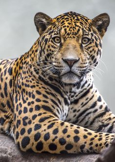 by Paulo Peres - Photo 137666181 - Majestic Animals, Unique Animals, Beautiful Creatures, Animals Beautiful, Big Cats, Cute Cats, Jaguar Pictures, Jaguar Animal, Funny Animals
