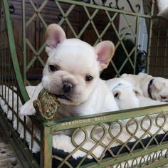 Baby face Frenchie