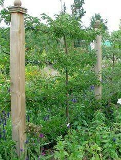 Epalier fruit trees