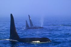 Photo of a group of killer whales traveling through tick fog in British Columbia, Canada.