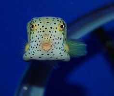 The shape of the boxfish controls water flow around the body to influence stability and maneuverability. Cow Fish, Sea Aquarium, Beautiful Sea Creatures, The Way He Looks, Underwater Creatures, Colorful Fish, Sea Birds, Body Shapes, Deep Blue