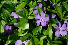 Full size picture of Common Periwinkle, Creeping Myrtle, Flower-of-Death