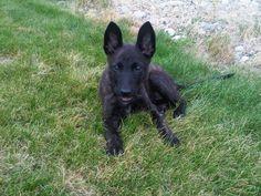 Dutch shepherd ears for sure! Puppy Alice!
