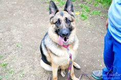 Described as a sweetheart, this beautiful German shepherd is not doing well in the shelter. Please help to find her a new home.