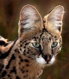 serval    Meow!