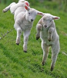 Dancing Sheep!