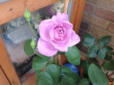My mums favourite blue moon rose