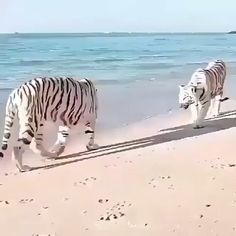 Click visit button to watch more videos - Animales - Katzen Cute Baby Animals, Animals And Pets, Funny Animals, Big Cats, Cats And Kittens, Cute Cats, Beautiful Cats, Animals Beautiful, Beautiful Beach