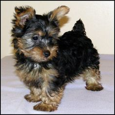 silky terrier puppy, only the cutest puppies EVER! My Daisy girl used to look just like this:)