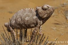 desert chameleon - Serra Cafema Camp - There are also a number of endemic reptiles - the desert chameleon being a particular specialty. Wildlife Nature, Chameleon, Reptiles, Wilderness, Safari, Africa, Camping, Earth, Number