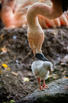 Flamingo motherly love / pic by Martin Frehe Kinds Of Birds, Love Birds, Beautiful Birds, Birds 2, Pet Birds, Creature Feature, Mundo Animal, All Gods Creatures, Exotic Birds