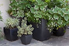Variegated Wallflower, Plectranthus and Diascia are presented in black containers in The Kitchen Courtyard.