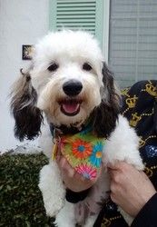 Allie is an adopted Maltese Dog in Santa Ana, CA. Meet Allie this Saturday, April 20th at petsmart, Yorba Linda, 5521 Mirage Street, Savi Ranch Shopping Center. She is a jewel and drop dead gorgeous ...