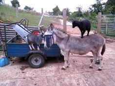 A couple of clumsy pygmy goats jump onto the backs of two very cooperative donkeys at a farm belonging to janatanification, fall off and try to jump back on as the donkeys start walking away. via r...