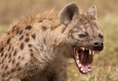 Hyena Photograph Exhibiting features and behaviors of both canines and felines, the hyena has mystified cultures for centuries.  Read more at http://all-that-is-interesting.com/spotted-hyena-laugh#7hQvbVDOSO8RLx9S.99