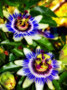 Passion Fruit Flower ~one of my flowers for my tattoo in a few weeks! Love these