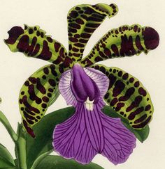 1882 WARNER ORCHID FOLIO: CATTLEYA ACLANDIEA, Exquisite Hand-Painted Orchid