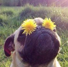 Pugs are so fabulous Funny Dogs, Funny Animals, Cute Animals, Cute Pugs, Cute Puppies, Grumble Of Pugs, Pugs And Kisses, Funny Dog Pictures, Pug Love