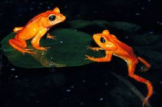 """Last seen in Costa Rica's golden toad (pictured) is perhaps the most famous of the """"lost amphibians""""—virtually extinct animals that may be eking out an existence in a few scattered hideouts, conservationists say. Reptiles And Amphibians, Mammals, Monteverde, Baja California, Funny Animals, Cute Animals, Baby Animals, Amazing Frog, Green Tree Frog"""