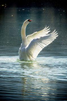 Swan Lake by Alex Wolf via Beautiful Swan, Beautiful Birds, Beautiful Pictures, Swans, Spiritual Animal, Mute Swan, Lily Pond, Swan Lake, Black Swan