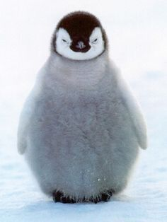 """Listen here you little..."" #penguin #animallovers #animals so cute"