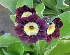 Primula Auricula, Evening Primrose, Theatres, Crystals, Drawings, Flowers, Plants, Photos, Lilac Flowers