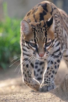 phototoartguy:  Ocelot. by LisaDiazPhotos on Flickr.