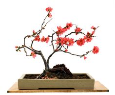 Flowering Quince (Chaenomeles Speciosa) bonsai & tips
