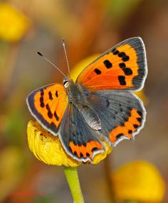 Small copper - Lycaena phlaeas <3 i love how you loved bright colors like orange, yellow, lime green and hot pink!!