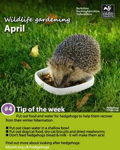 Put out food for your local hedgehogs to help them recover from their winter hibernation. Bird Nesting Box, Animals That Hibernate, Hedgehog House, Insect Hotel, British Garden, One With Nature, Green Life, Dream Garden, Beautiful Creatures