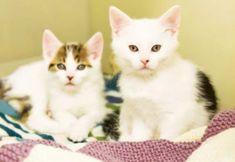 Cute White Kittens Wallpaper