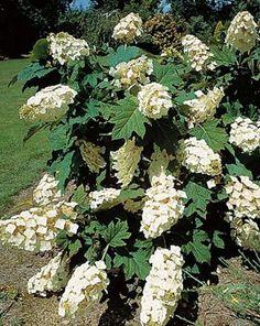 Iperico coprisuolo ombra giardino in ombra pinterest for Ortensia quercifolia